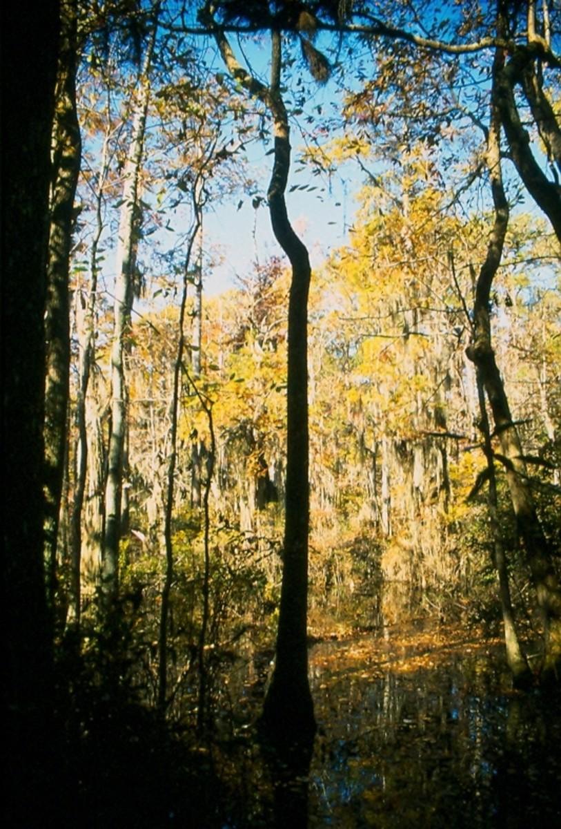 Bald Cypress Trail, First Landing State Park, Virginia Beach, Virginia.