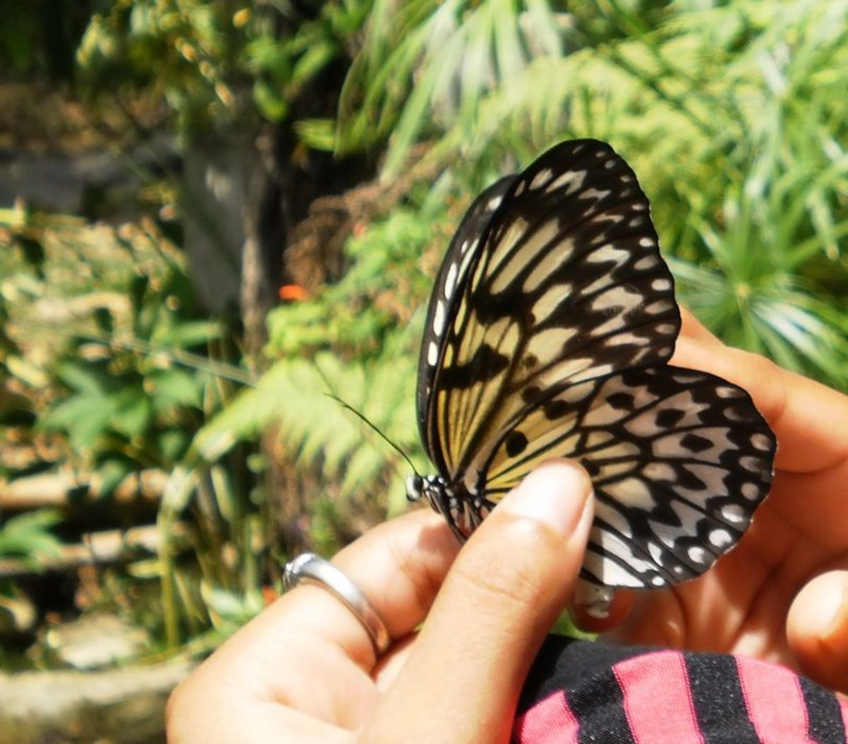 A wonderful butterfly found at the Simply Butterflies conservation center.