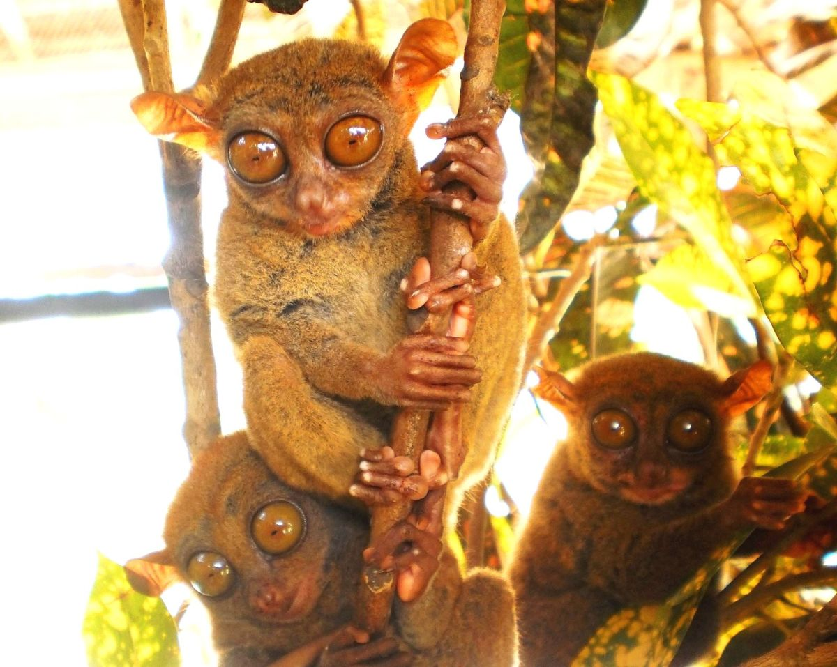 Tarsiers at the Tarsier Sanctuary in Bohol Philippines