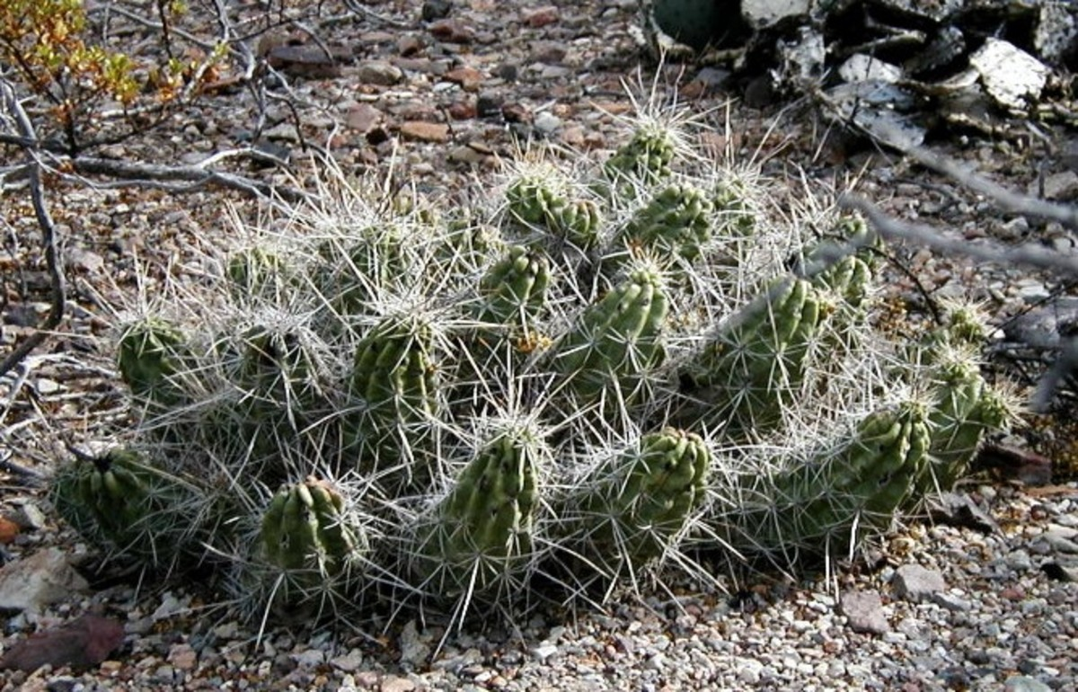 Just one of the many varieties of cactus at Big Bend National Park.