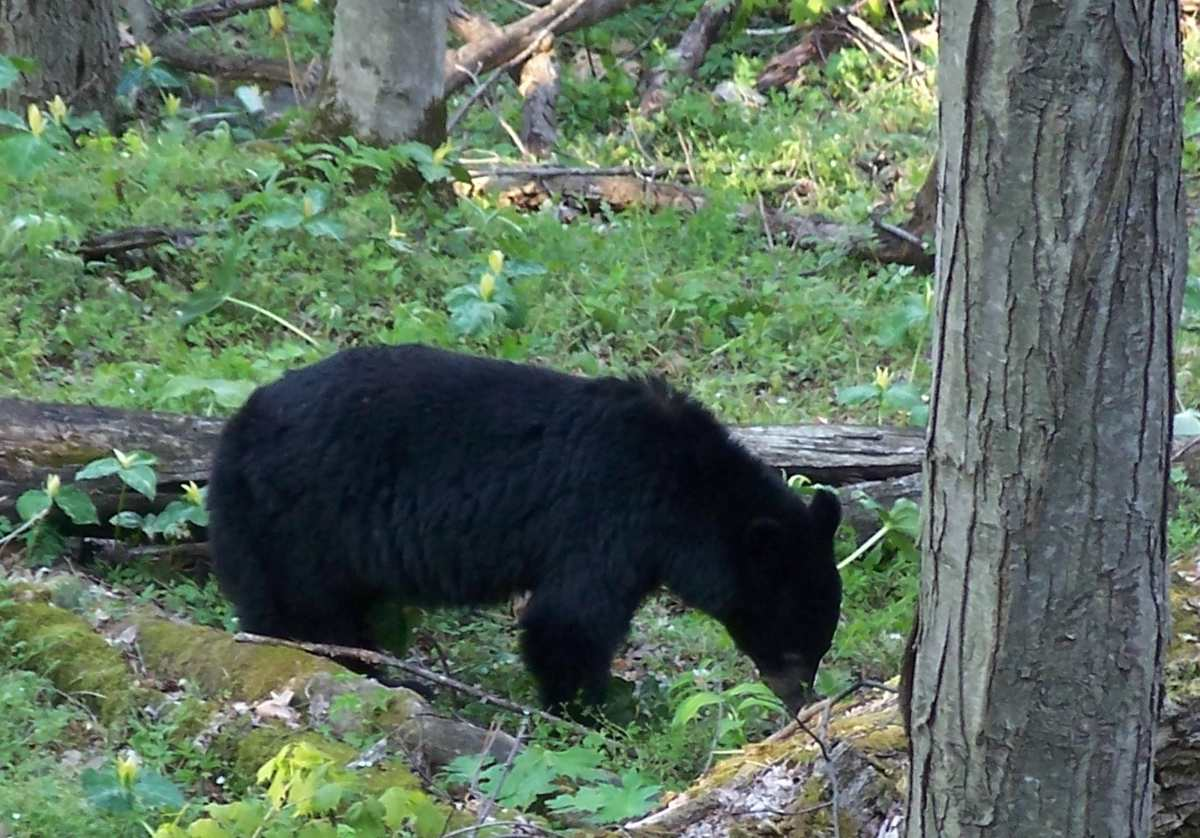Bear with cubs (not shown) in Great Smokey Mountain National Park.