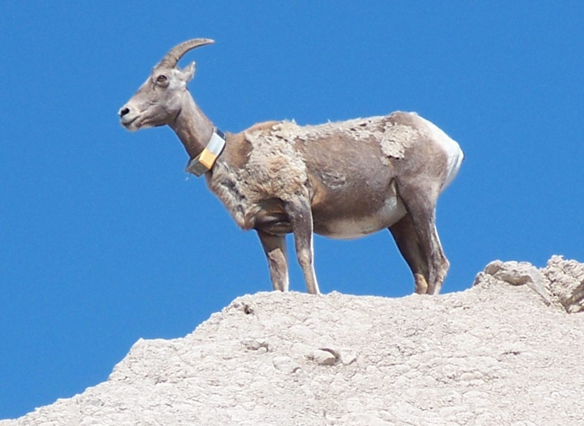 Big Horn Sheep in Badlands National Park, SD
