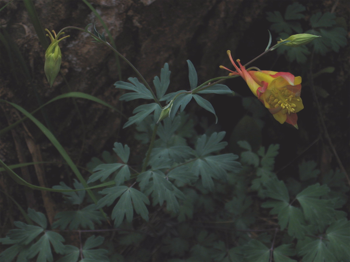 The delicate beauty of Zion is shown in this columbine growing in a small natural garden.