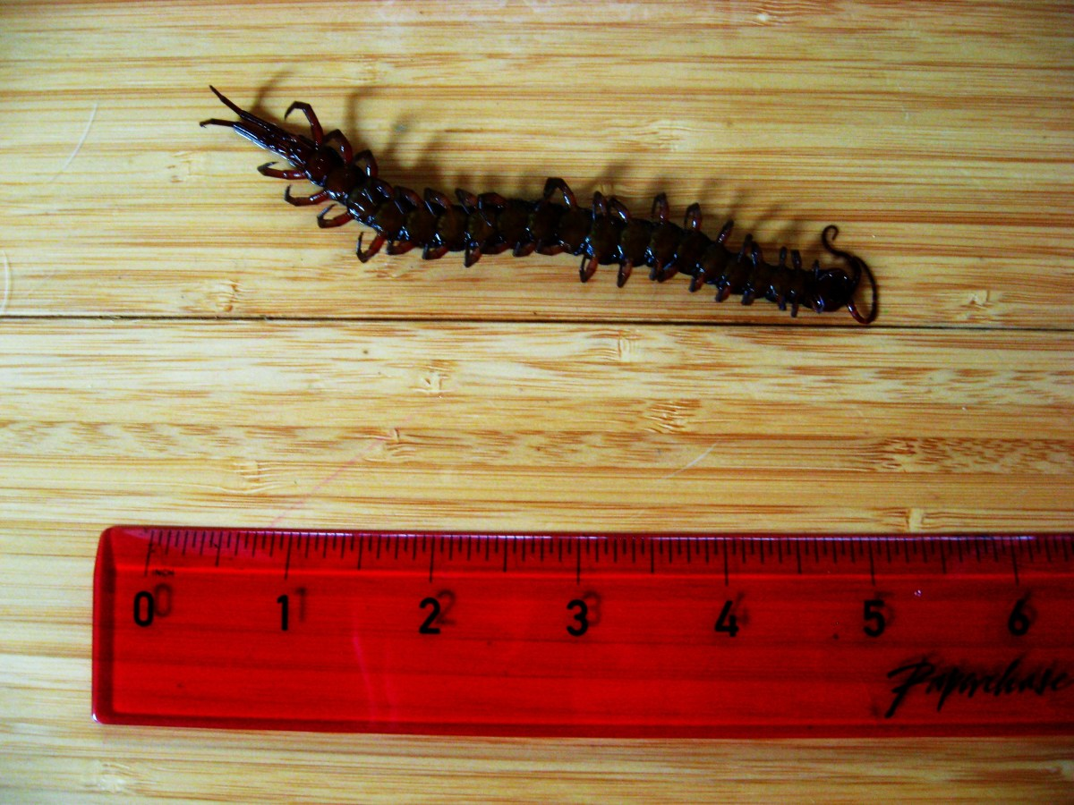 a medium-sized centipede