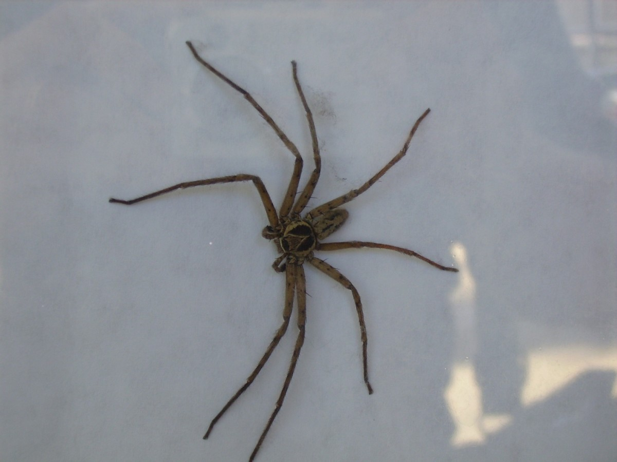 Brown Huntsman Spider, commonly called the Cane Spider