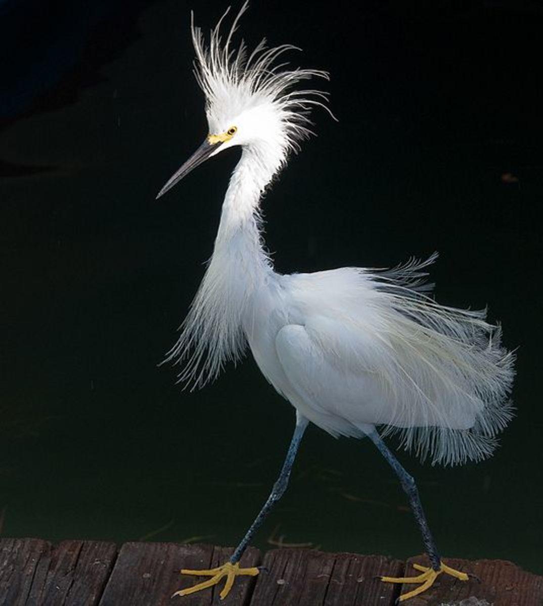 A snowy egret, displaying breeding plumage