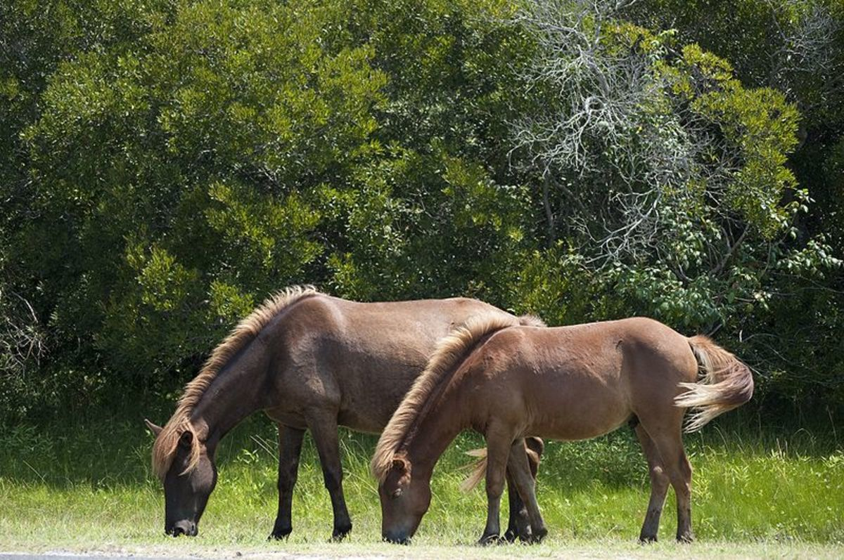 Wild Horses grazing on Assateague Island