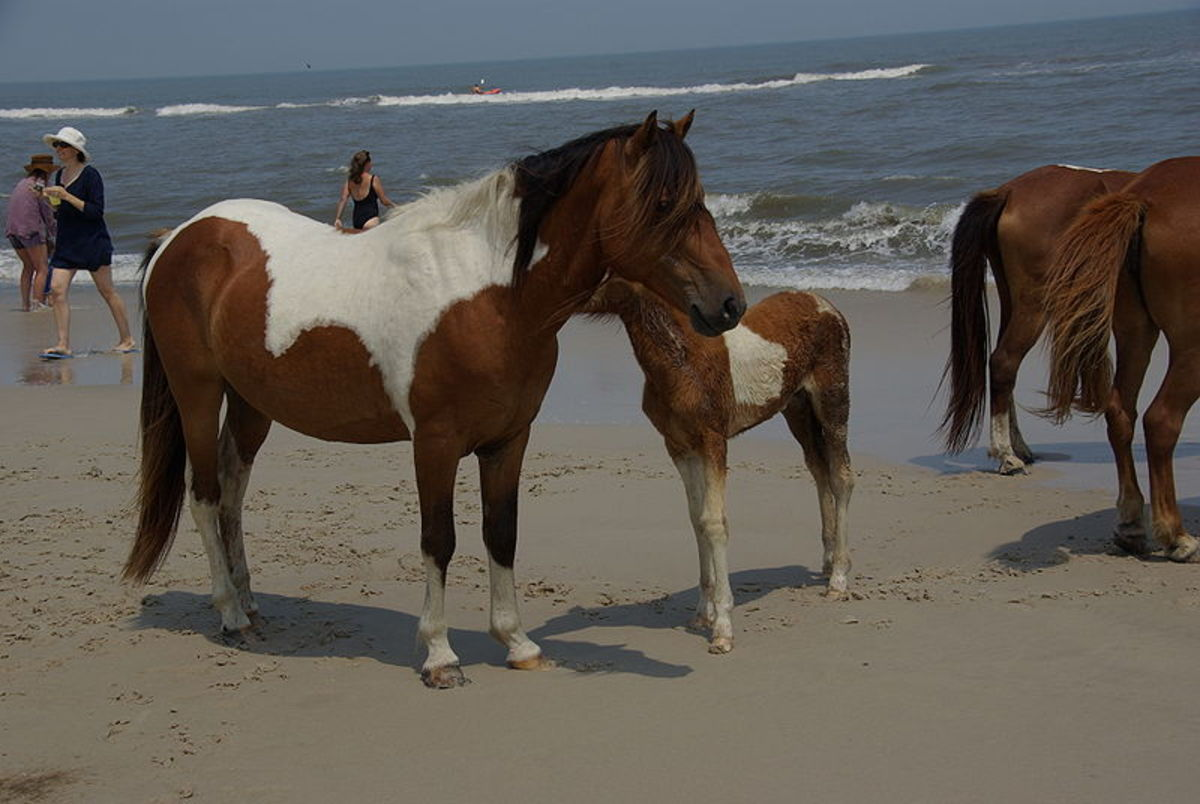 Ponies on Assateague Island mingle with beach goers and bathers!