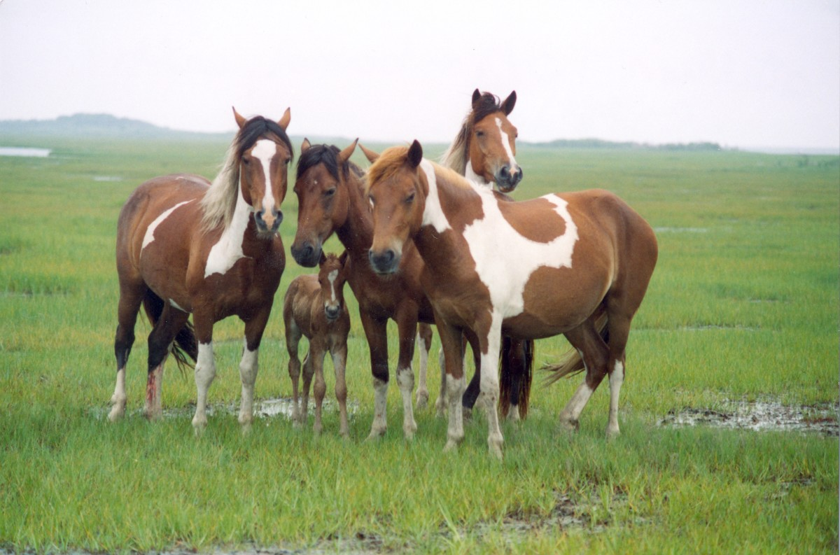 A band of horses, Assateague Island