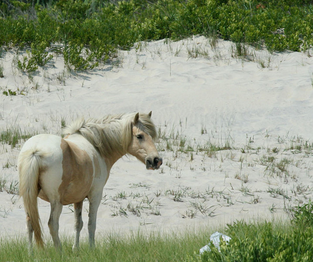 Wild horse, Assateague Island