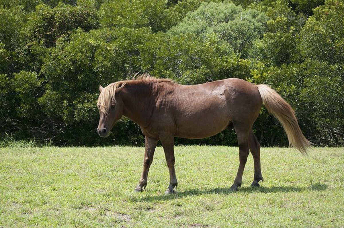 Wild horse, Assateague Island
