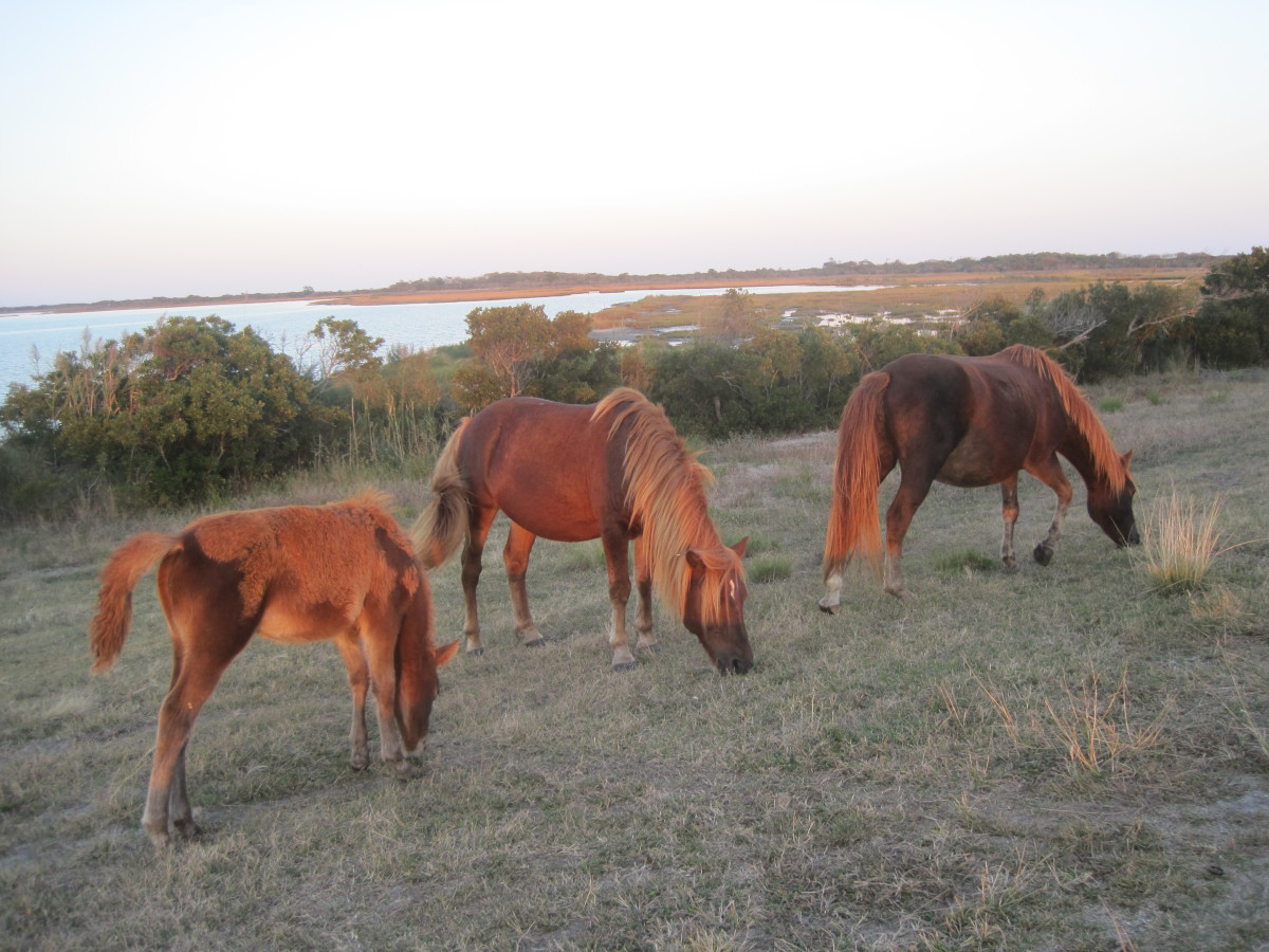 A group of wild horses, Assateague Island
