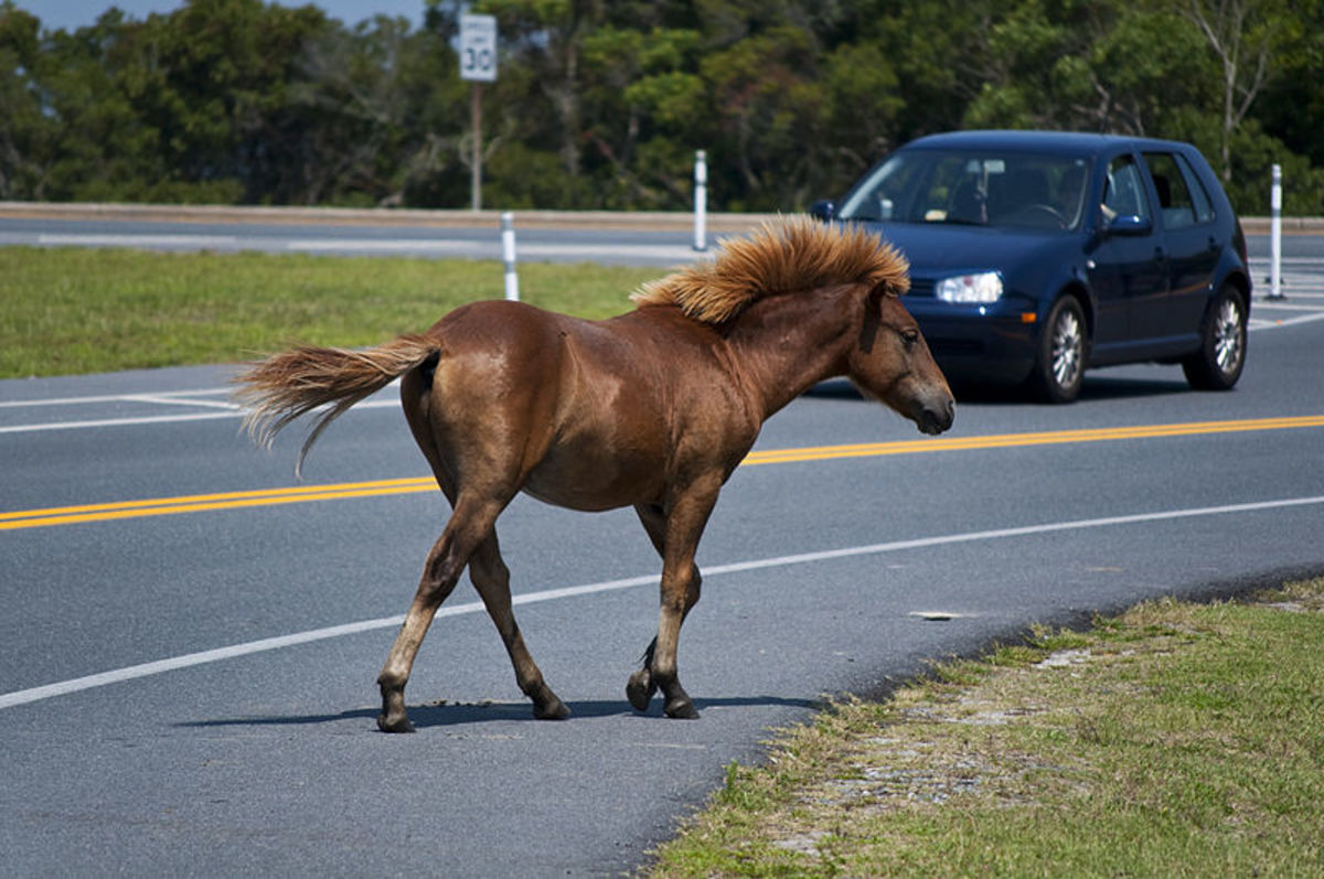 A wild horse out for a walk along the road, Assateague Island