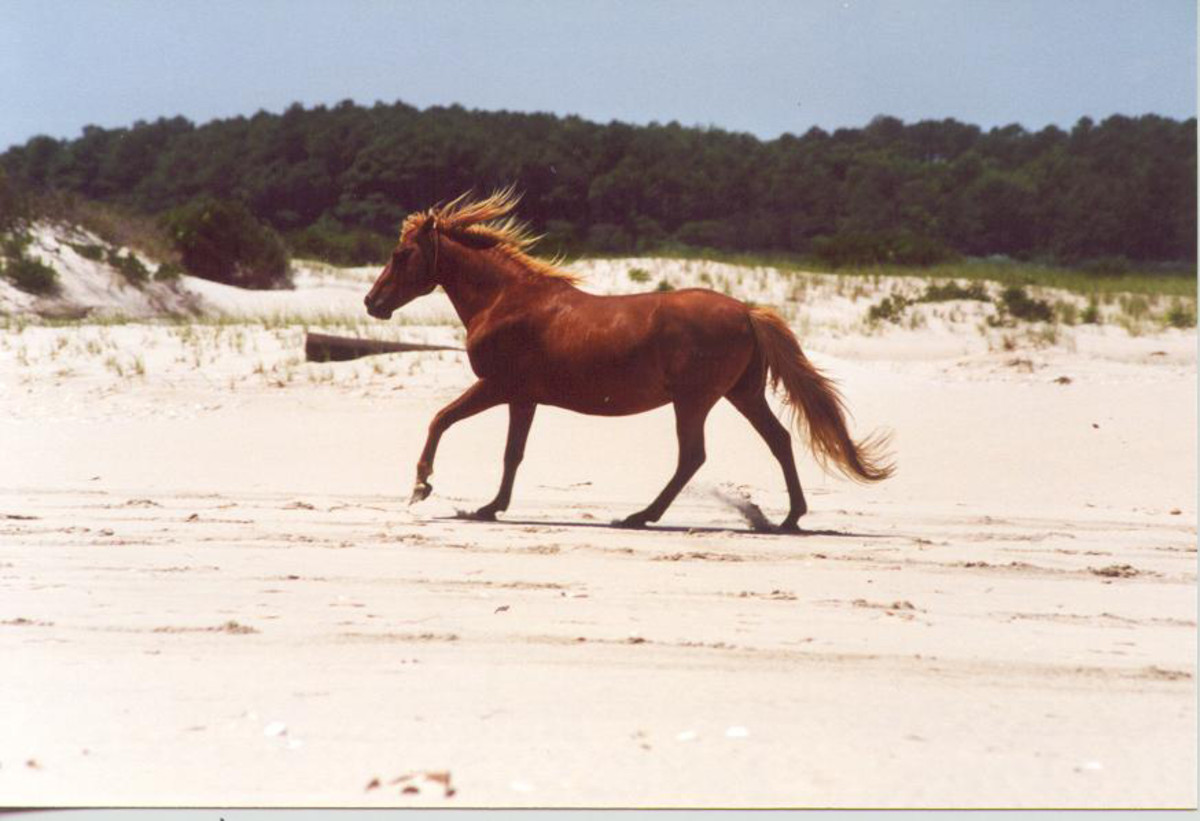 A wild horse running along the beach of Assateague Island