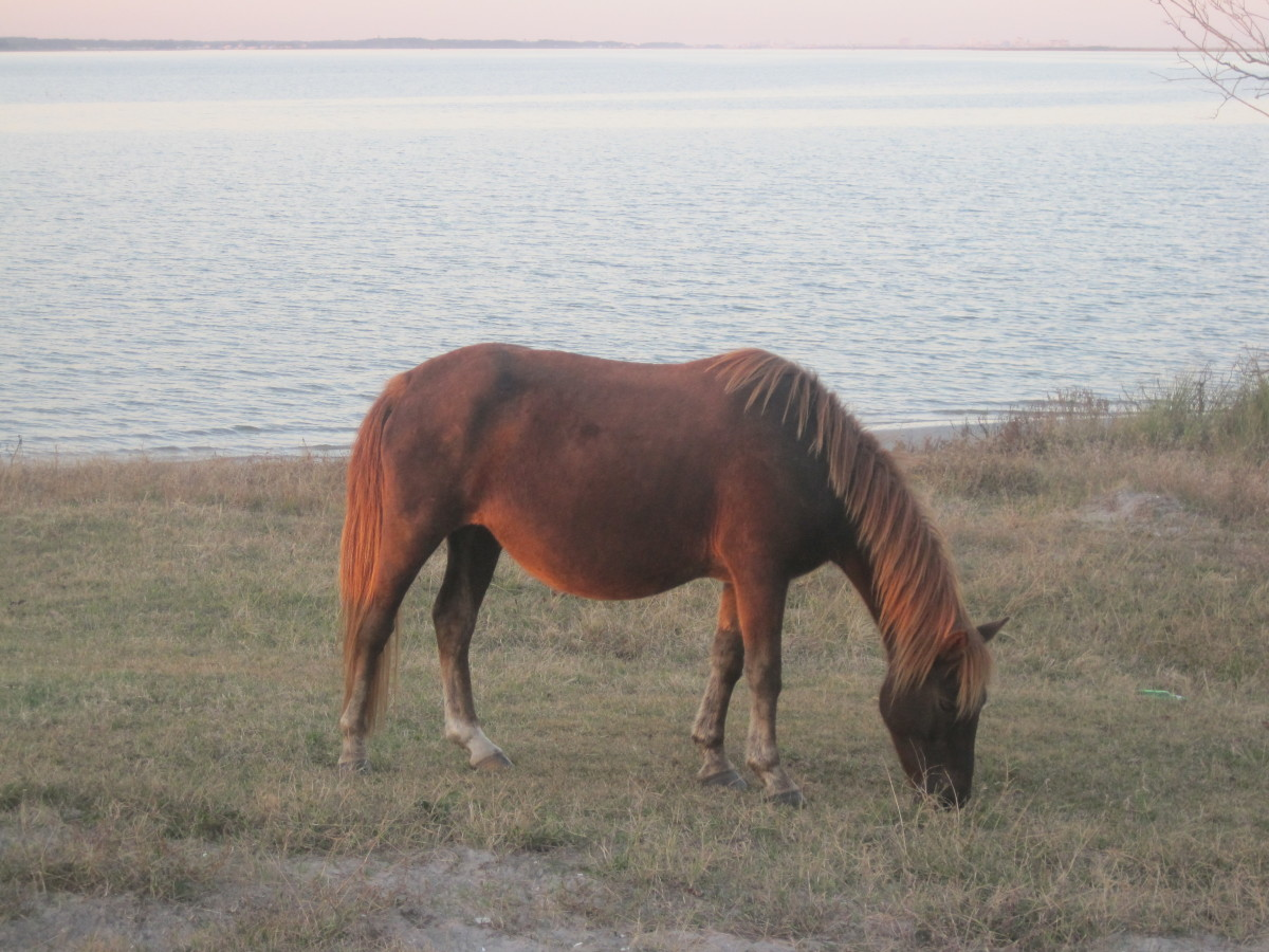 The wild horses on Assateague Island get bloated bellies because of the salt in the grass.