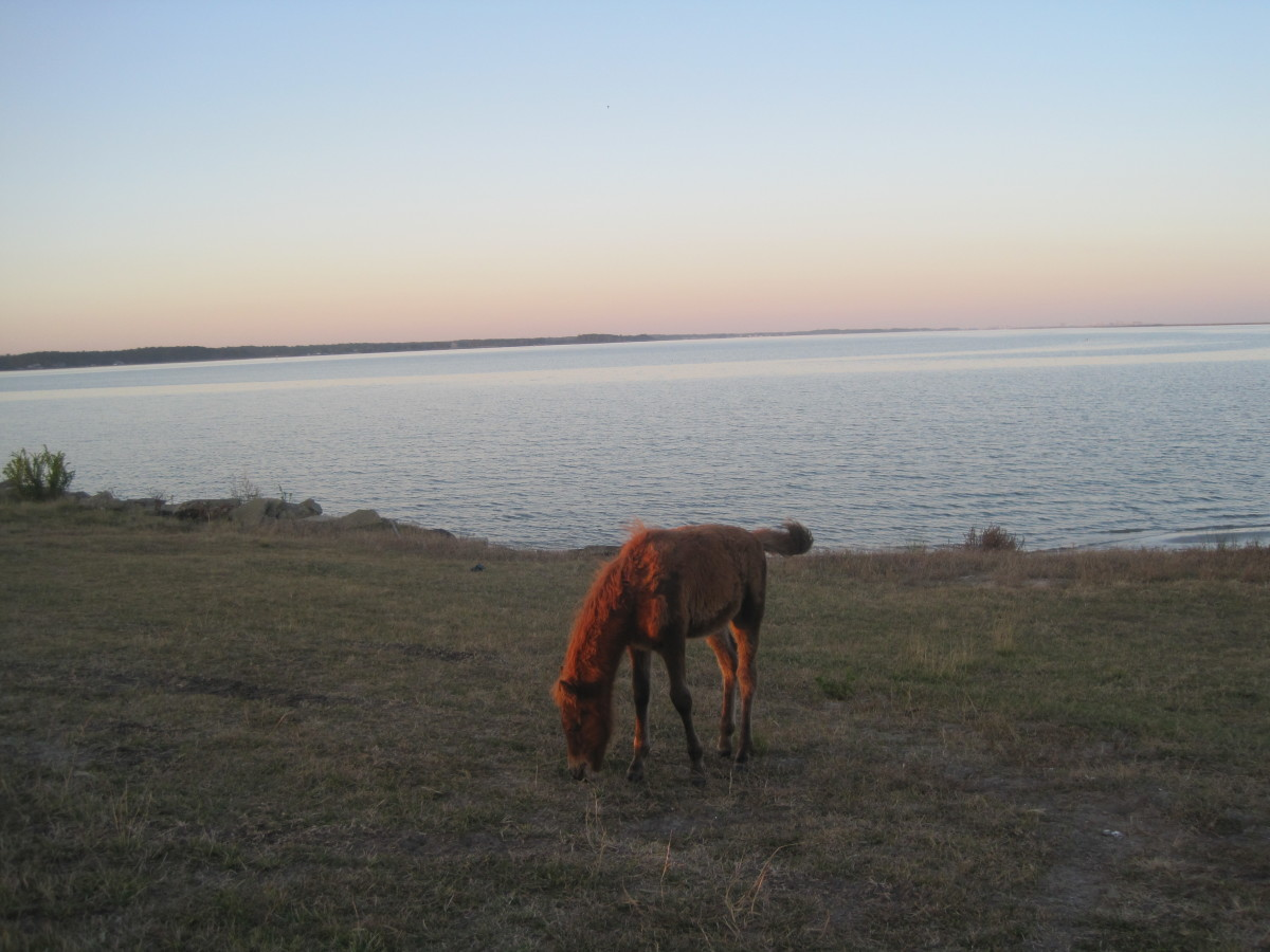 A young wild horse on Assateague Island