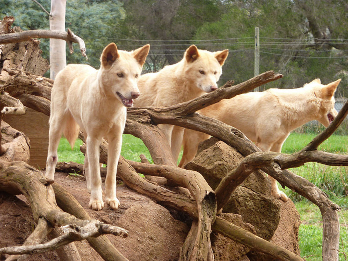 Dingoes at the Healesville Sanctuary.