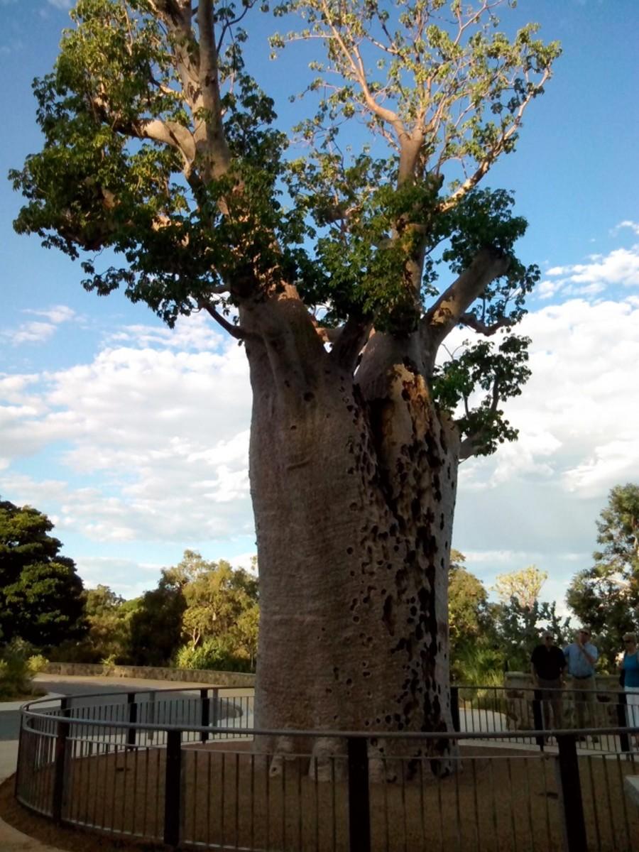 Giant Boab Tree (Gija Jumulu)