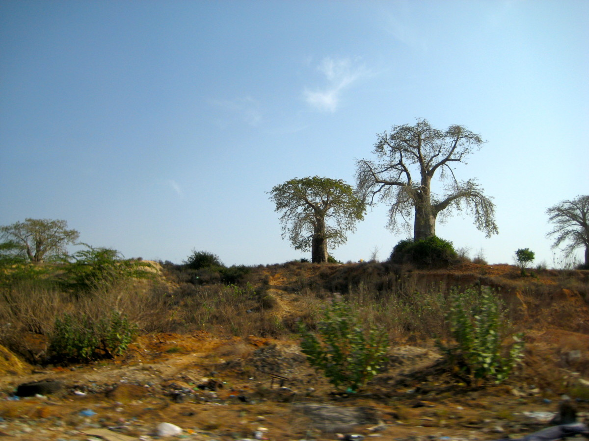 The imbondeiro trees can be seen all around Luanda