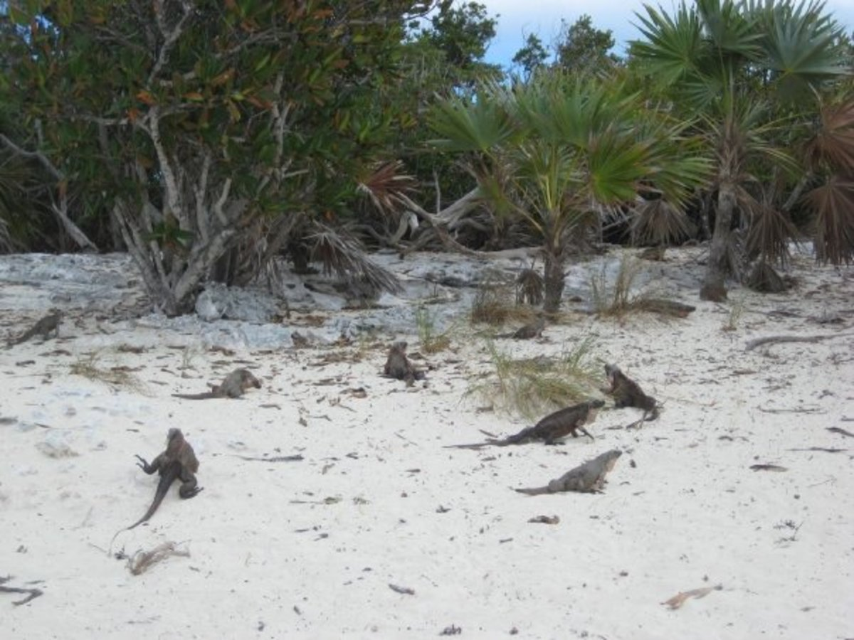 Dozens of endangered iquanas on Leaf Cay island in the Exumas.