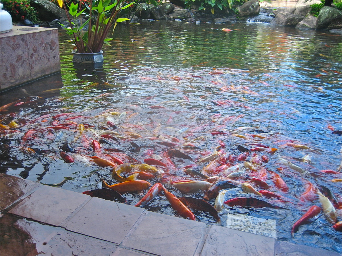 Hungry koi crowd together at feeding time