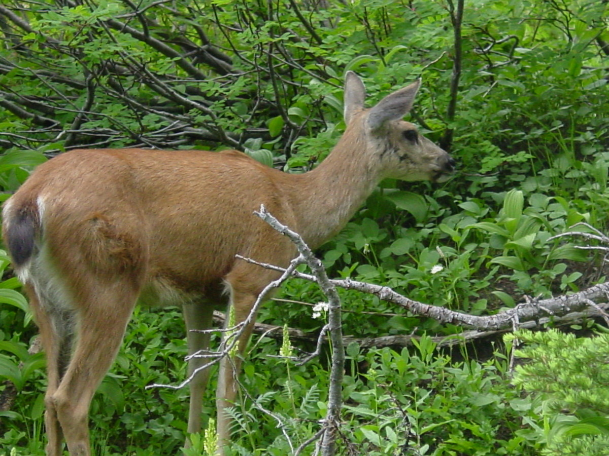 Be on the lookout for wildlife!  Black Tailed deer.