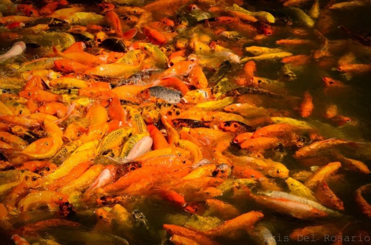 Fish Feeding: Feed some school of koi