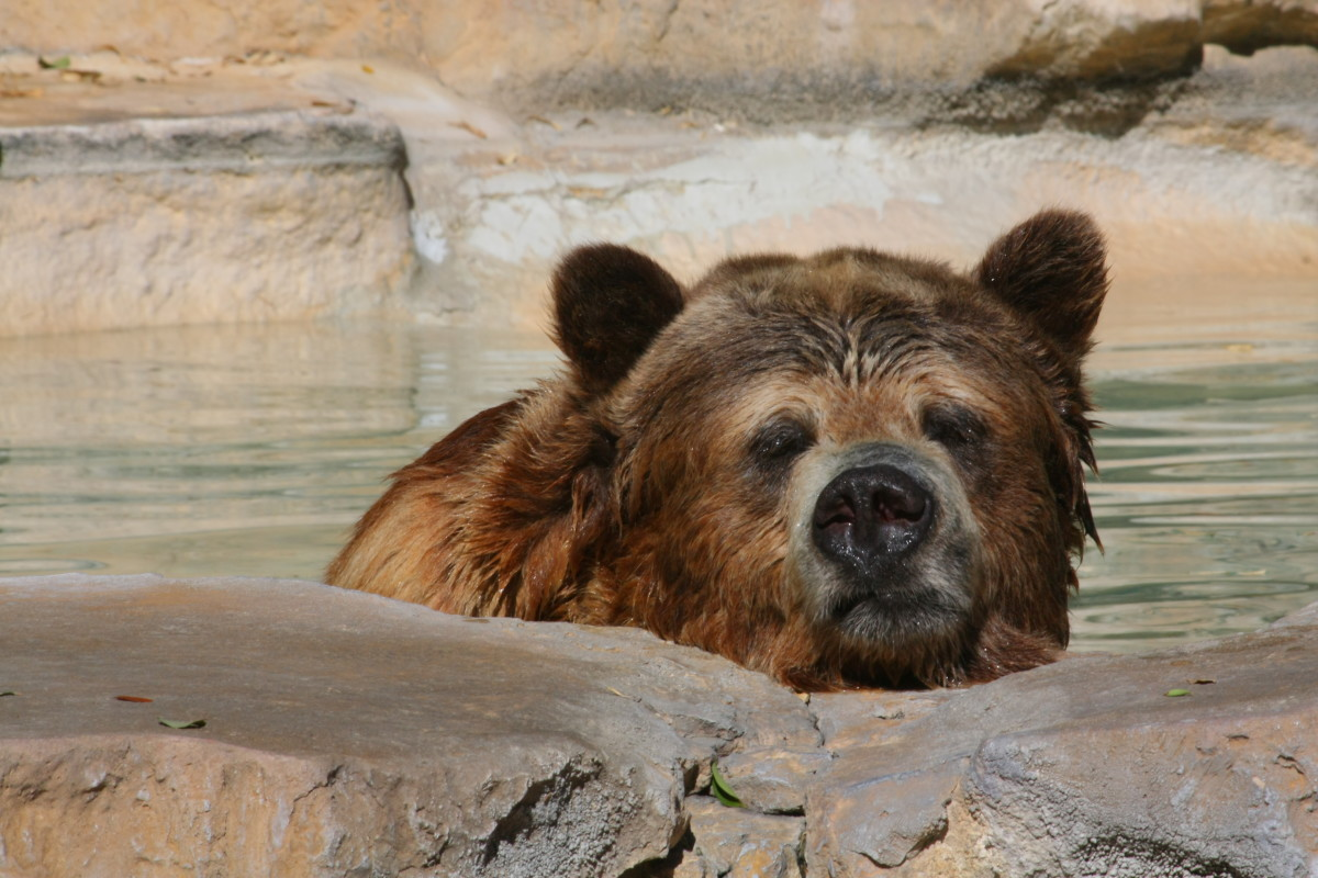 Lions and Tigers and Bears!  This funny guy is just a few of the great bears at the San Antonio Zoo!