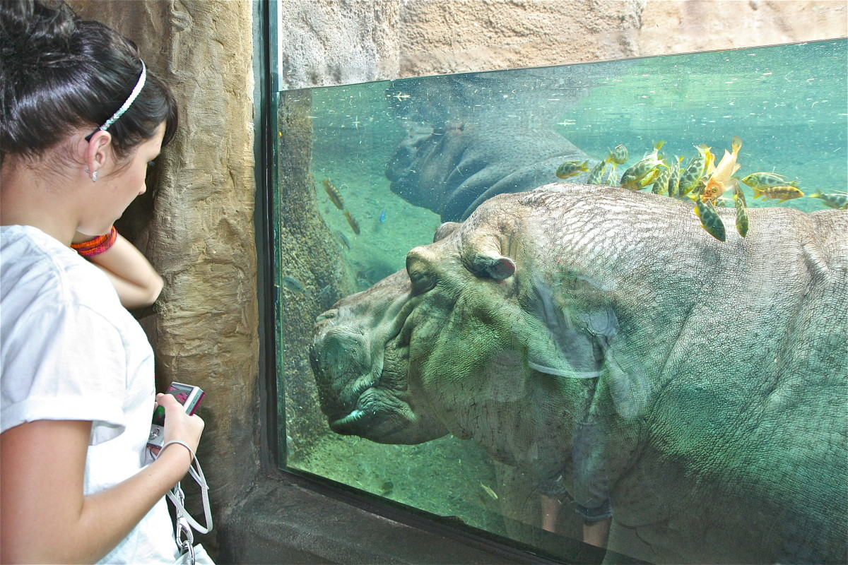 This hippo at the San Antonio Zoo enjoys a brief cleaning from some friendly fish.