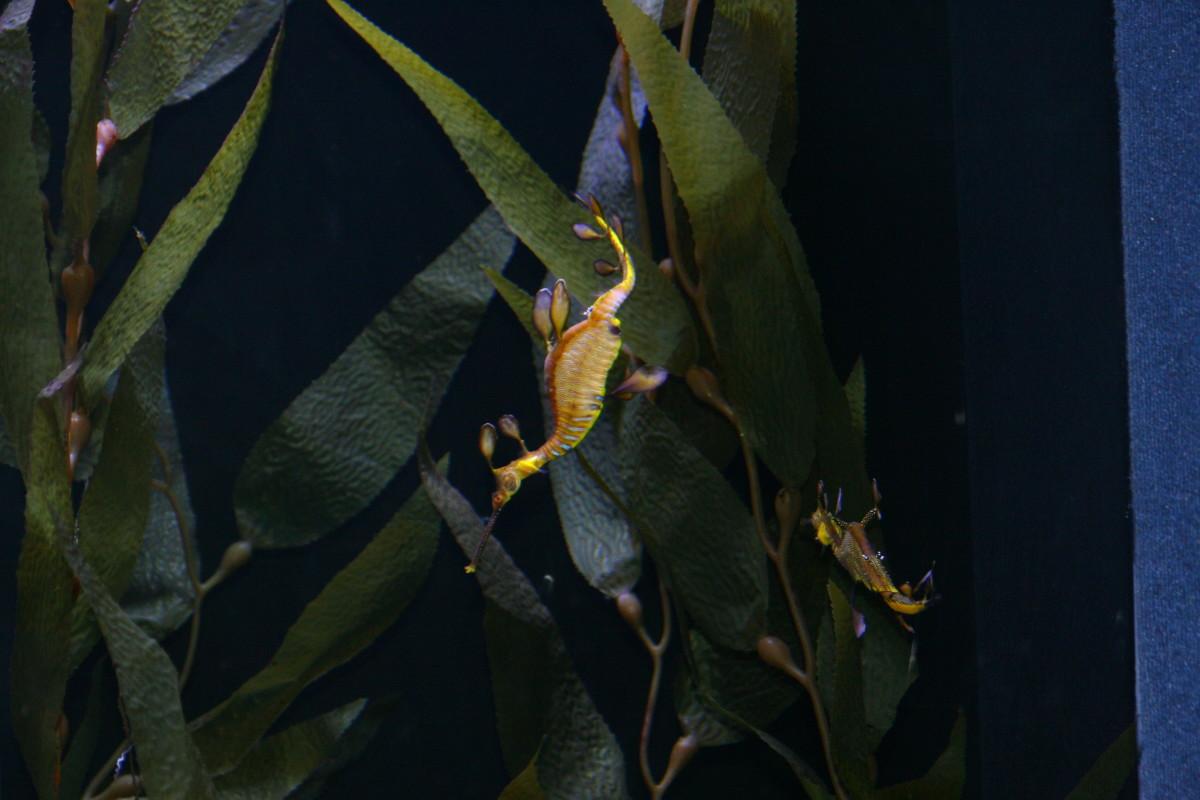 A leafy sea dragon in a tank.