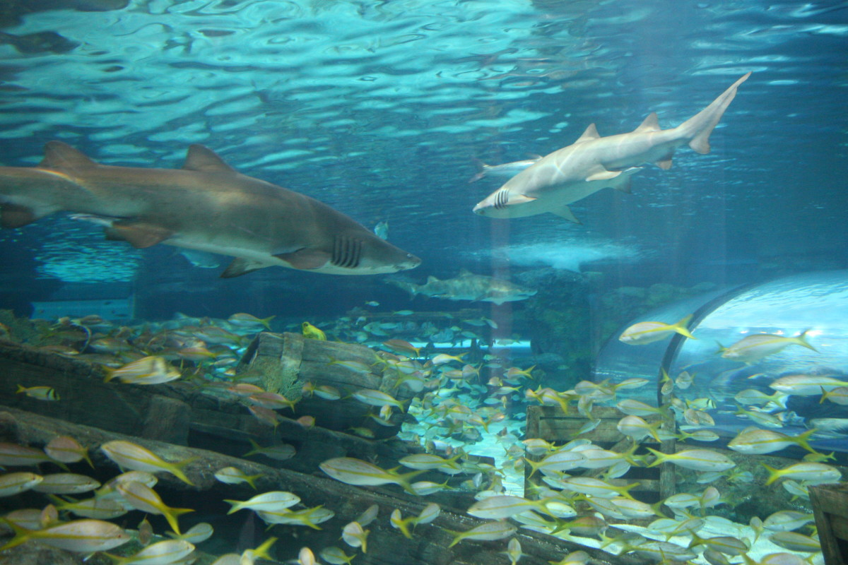 The shark tank at this aquarium is large, with many species!