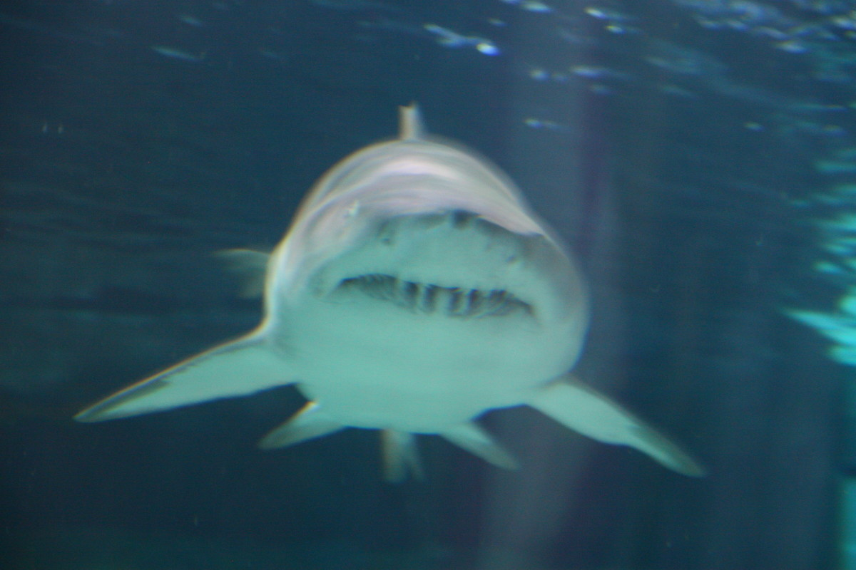 A shark heads right toward us in the shark tunnel at the Ripley's Aquarium!