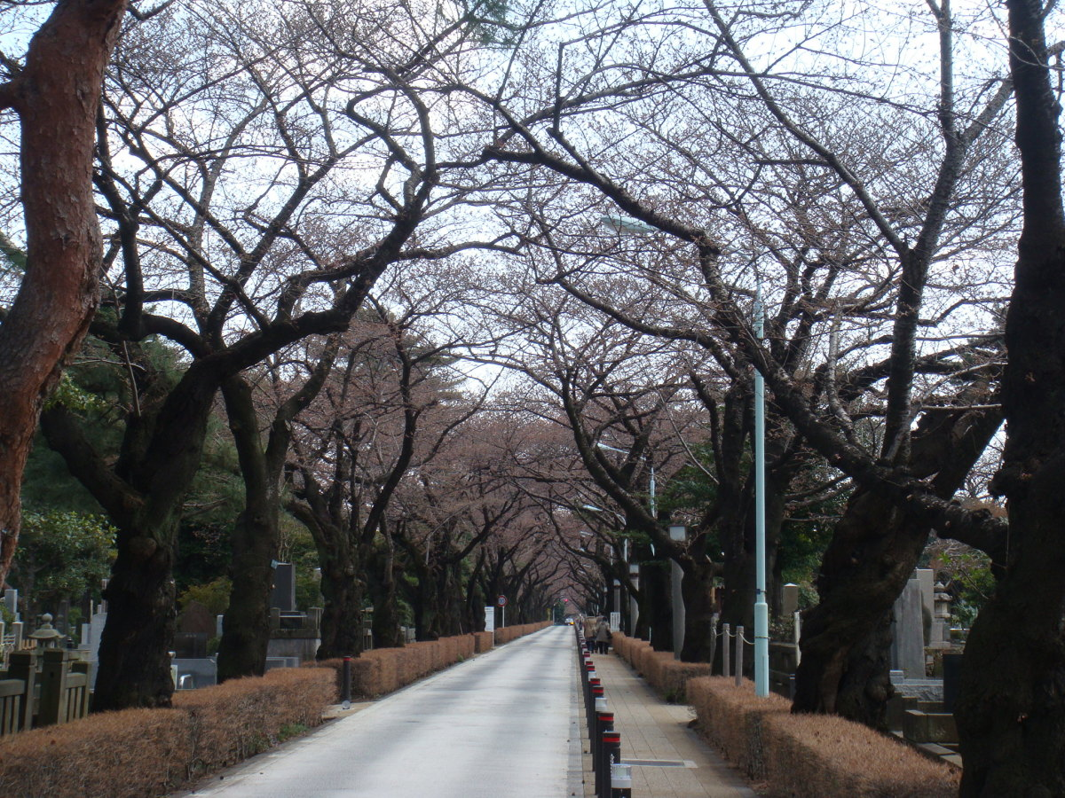 Cherry packed avenue in Aoyama Cemetery. Unfortunately, the trees weren't in bloom yet