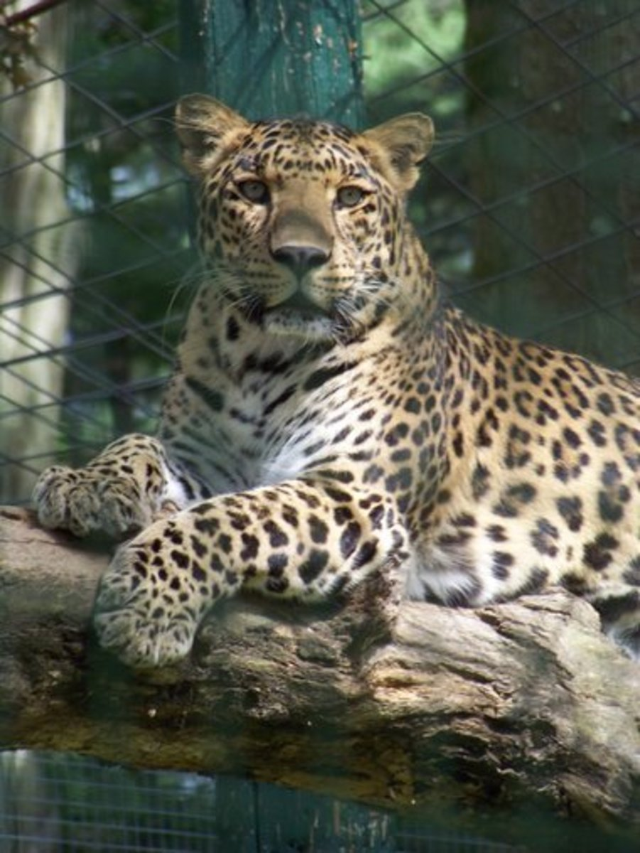 Katunga, the spotted leopard at the Forest Park Zoo