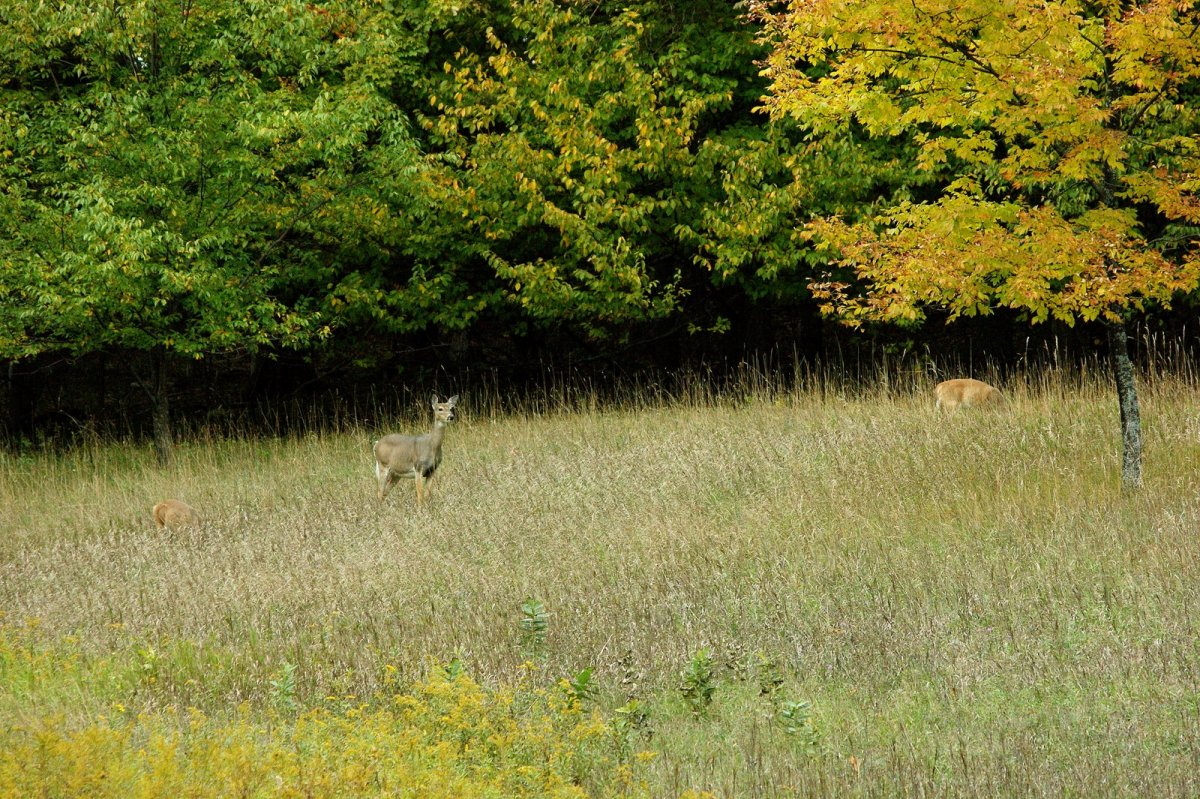 Doe and two fawns at Empire Bluff Trailhead
