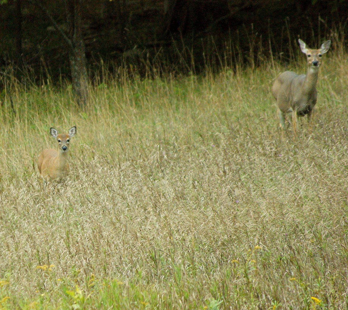 The reason these two look like, well, deer caught in the headlights, is that as I was taking this shot, two deer bow hunters dressed in camouflage walked by on the way to  their hunting spot.