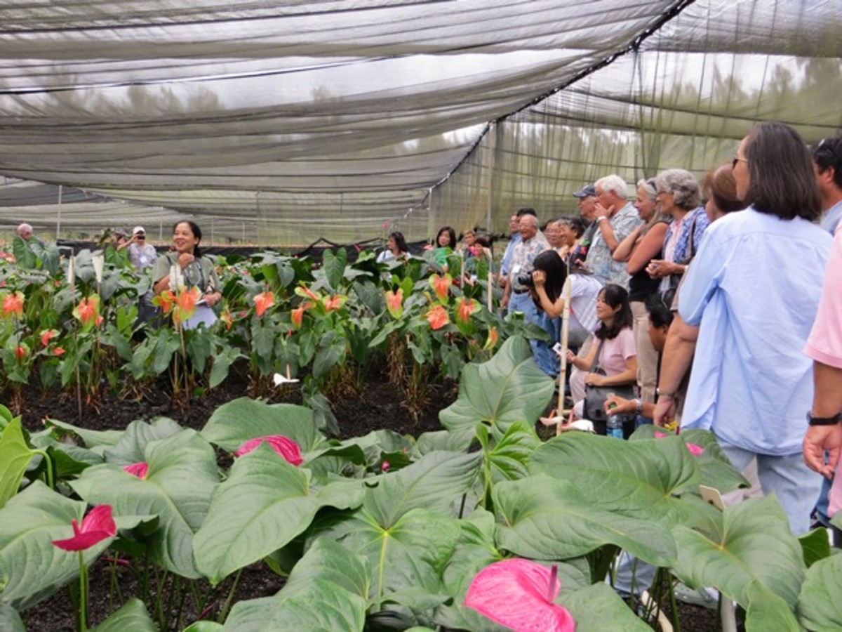 Anthurium farm in Hilo