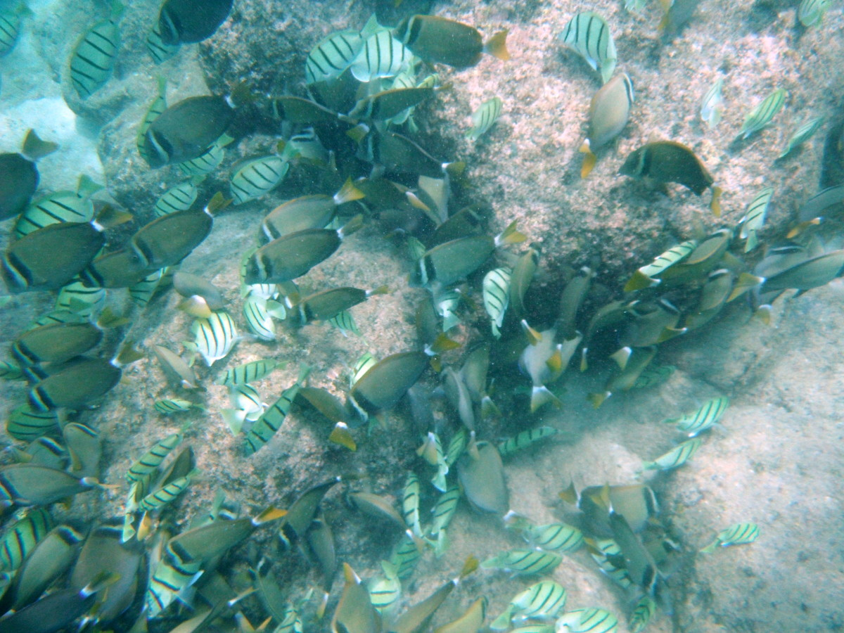 Best places to snorkel on oahu hawaii shark 39 s cove for Plenty of fish oahu