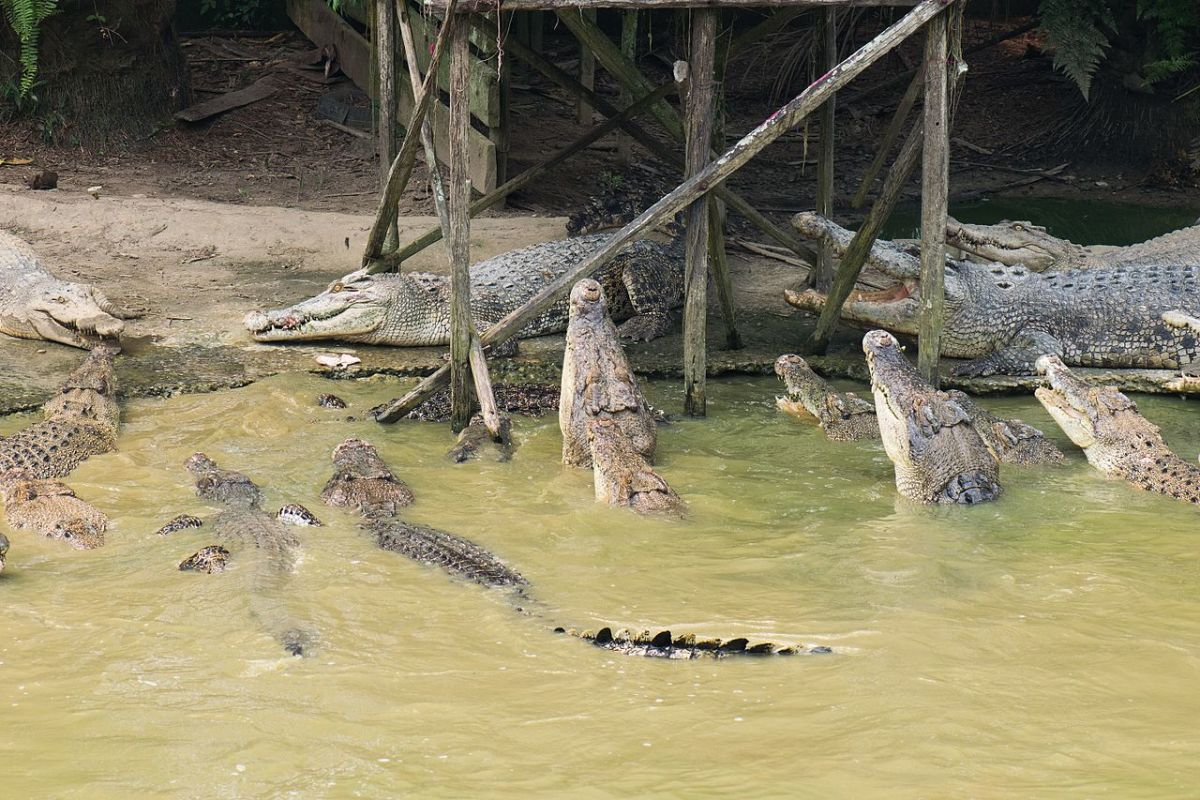 Crocodiles at Jong's Croc Farm.
