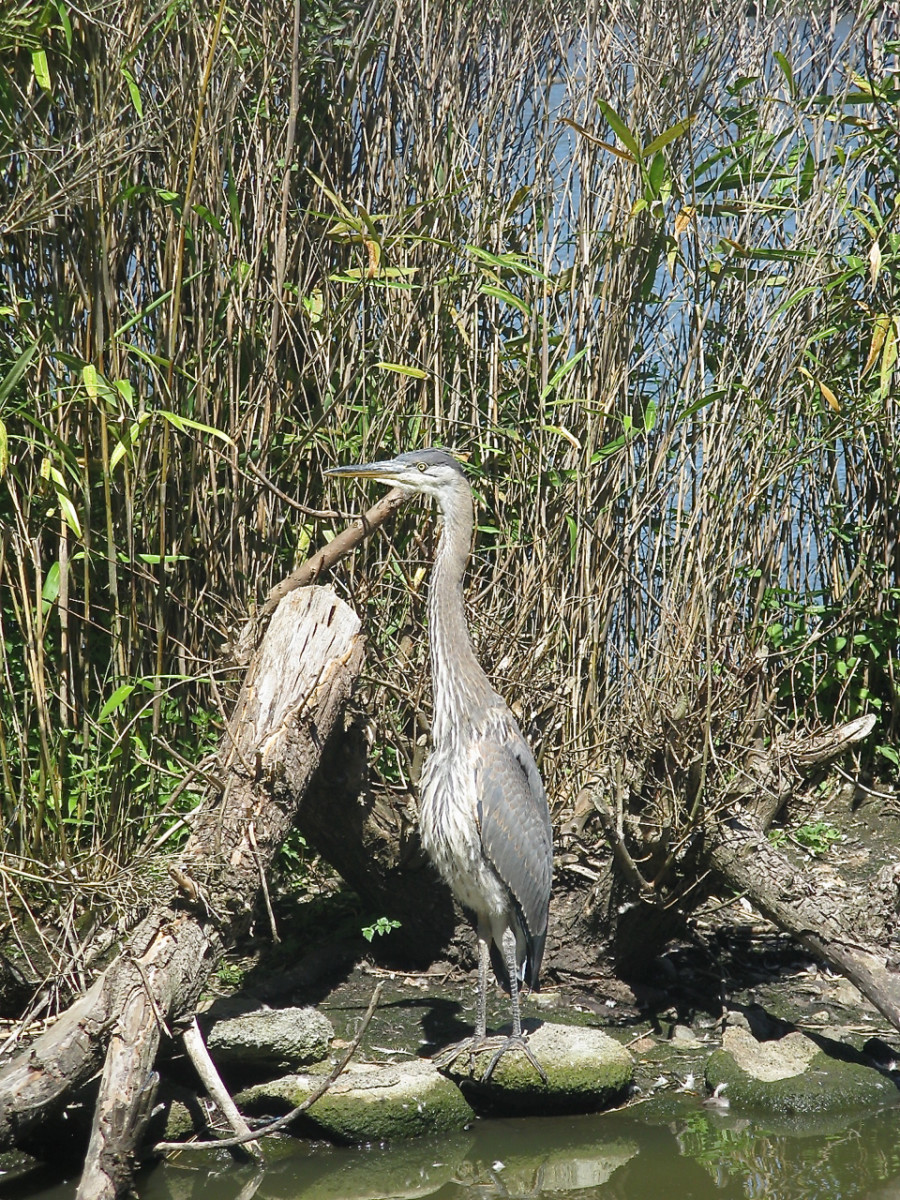 A great blue heron at Lost Lagoon