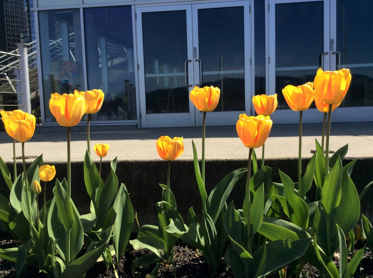 Tulips in front of the Coal Harbour Community Centre