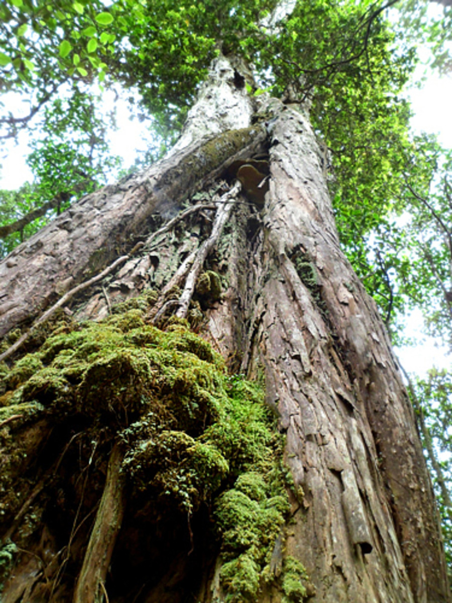 One of the several magnificent old ohi'a trees in the forest!
