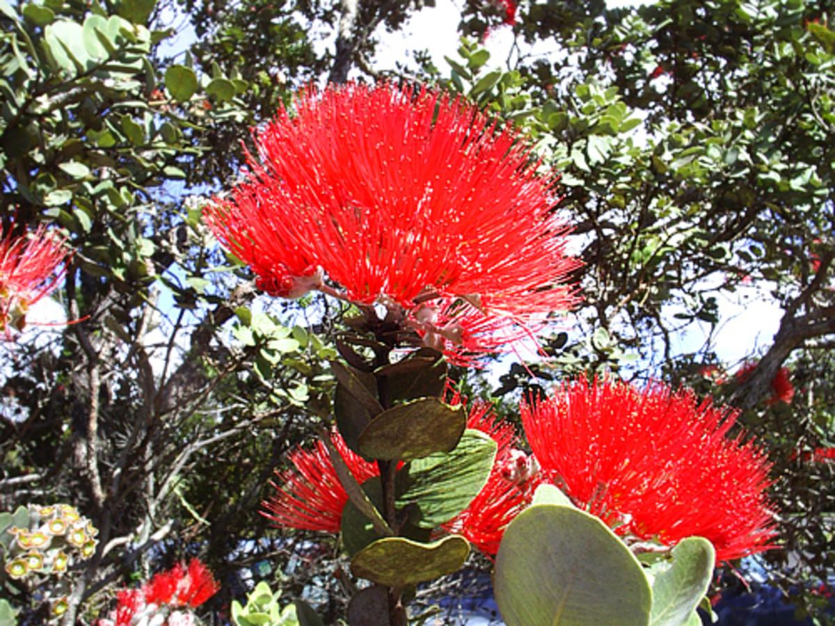 Red lehua flowers (Metrosideros polymorpha)