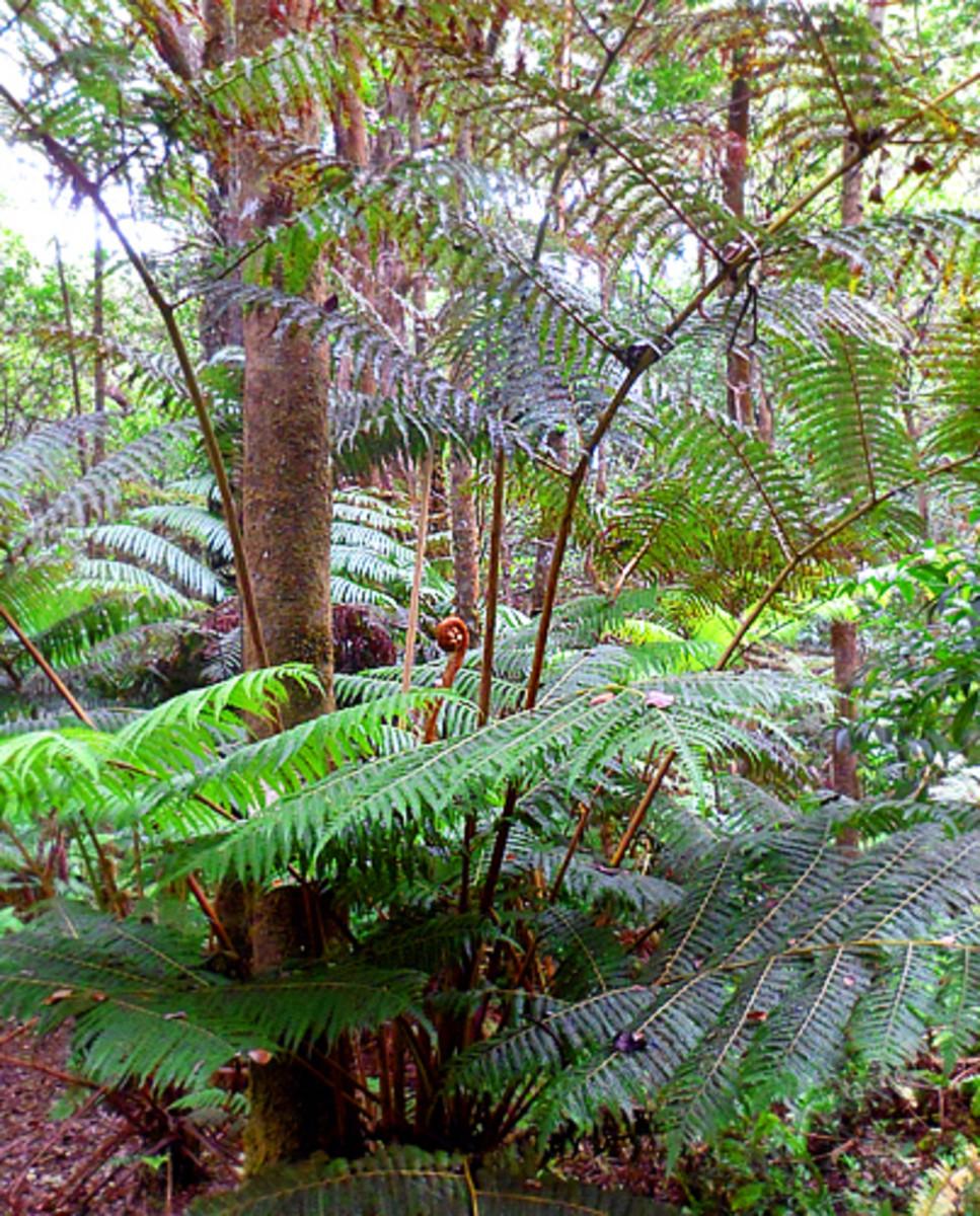 Hapu'u tree fern (Cibotium glaucum)