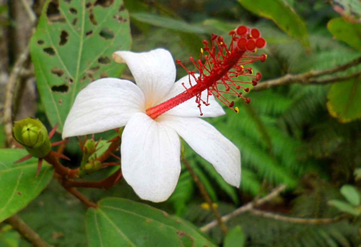 Rare native Hawaiian white hibiscus (Hibiscus waimeae)