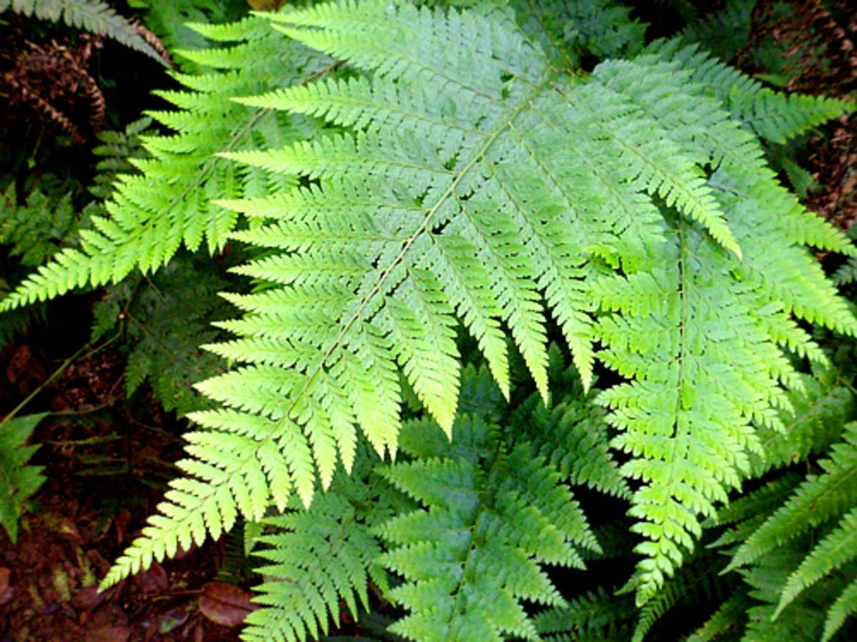 Palapalai fern (Mircopelia strigosa) grows everywhere in this forest