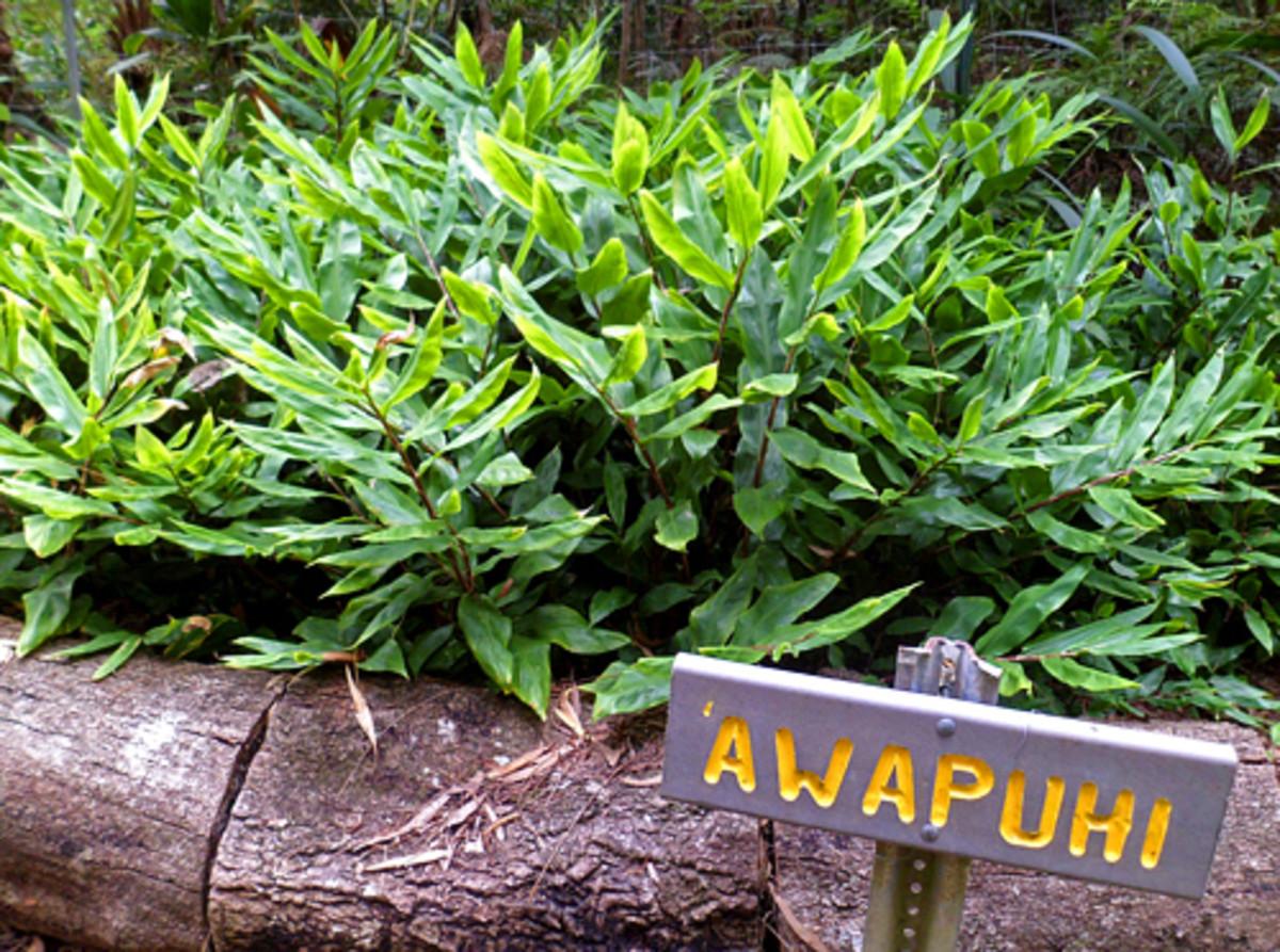 "Awapuhi ginger (Zingiber zerumbet) is one of the ""canoe plants"" species"