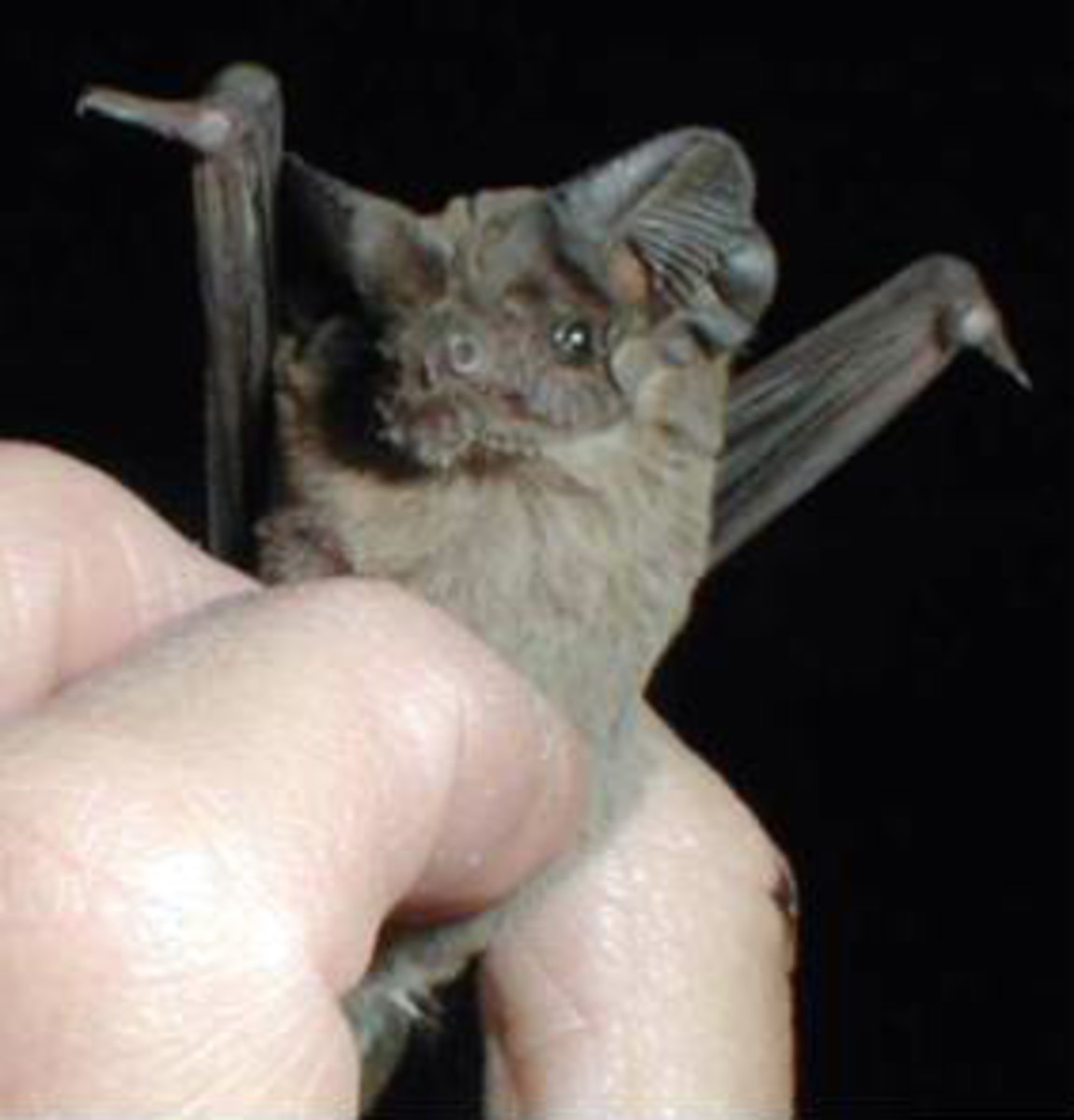 A Brazilian free-tailed bat viewed up close.