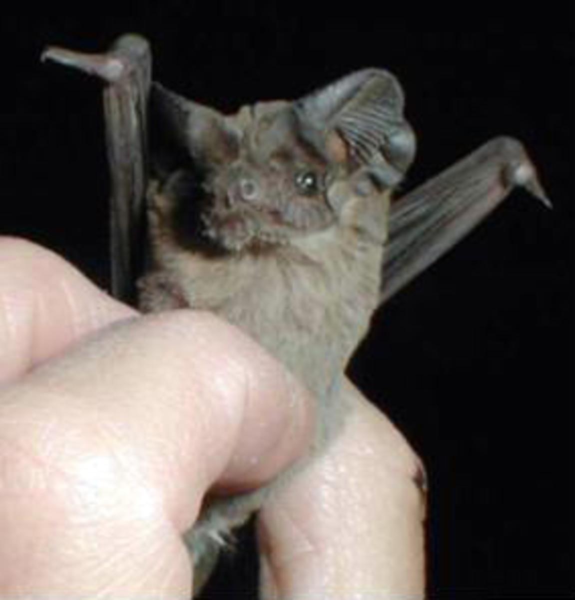 A Brazilian free-tailed bat viewed up close.