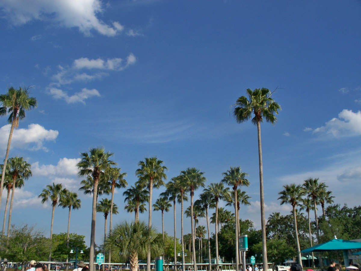 Disney's Hollywood Studios - Palm trees outside of the park